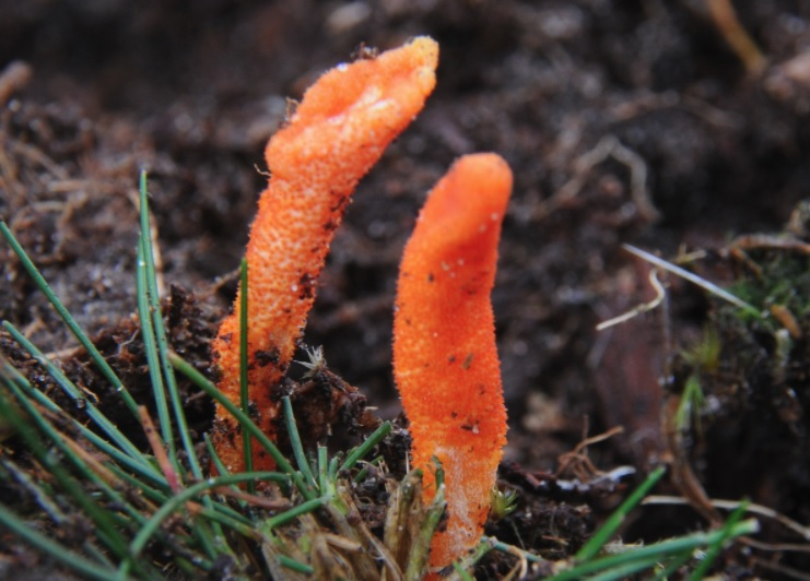 Your Brief Guide To Cordyceps Mushrooms